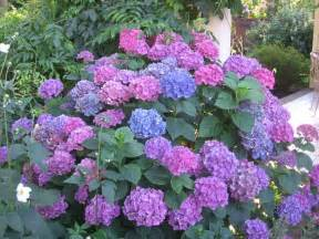 flowers for flower lovers hydrangea flowers pictures