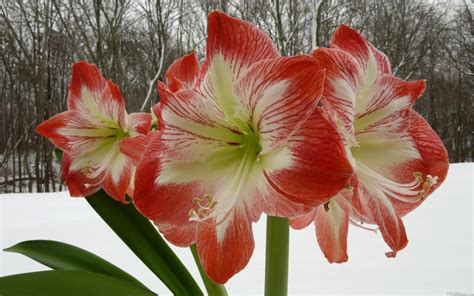 flowers that bloom in winter poisonous winter plant amaryllis amaryllis or the