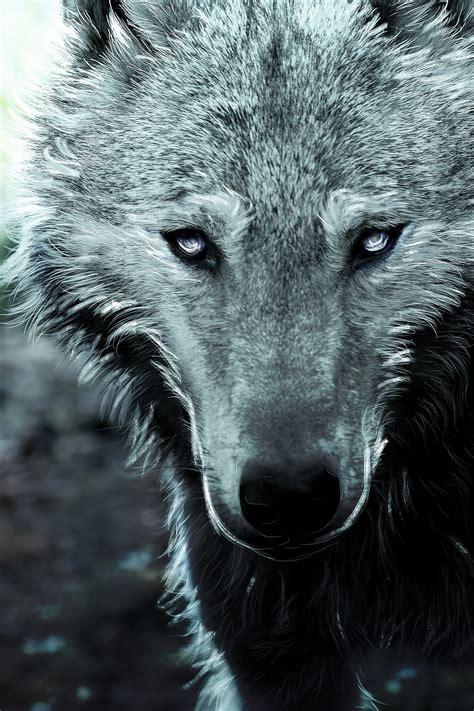 fondos de pantalla de lobos en movimiento fondos de pantalla fonds d ecran loup en gros plan dessin 233 museau voir