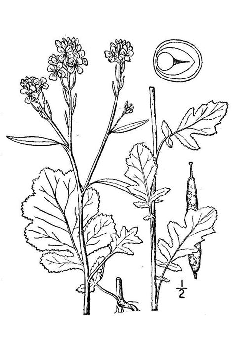 large image for brassica nigra black mustard usda plants