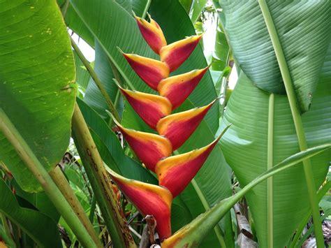 Tropical Flowers tropical flowers for sale at kauai seascapes nursery