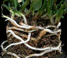 roots and rhizomes