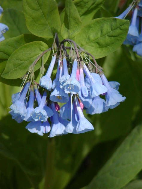 treasures  lewis ginter botanical gardens spring plant