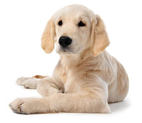 top family dogs dogs that make the best family pets hubpages