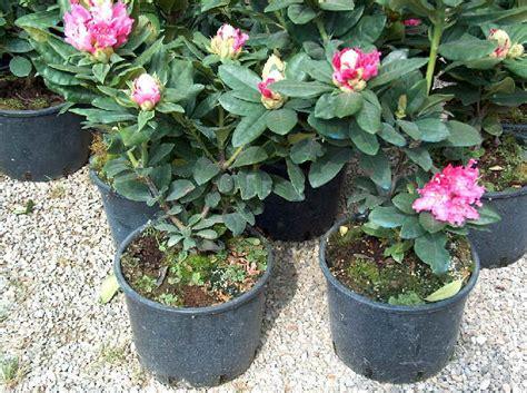 rododendro in vaso piante da vaso rhododendron rododendro azalea