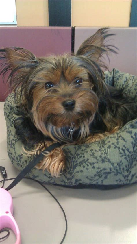 luxating patella in yorkies pet health concerns patellar luxation the trupanion