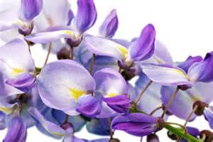 Wisteria Meaning wisteria meaning jpg