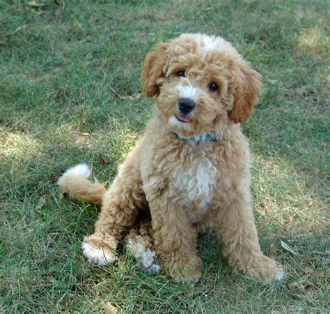 big that doesn t shed 22 best remmy grooming images on goldendoodle haircuts haircuts and dogs