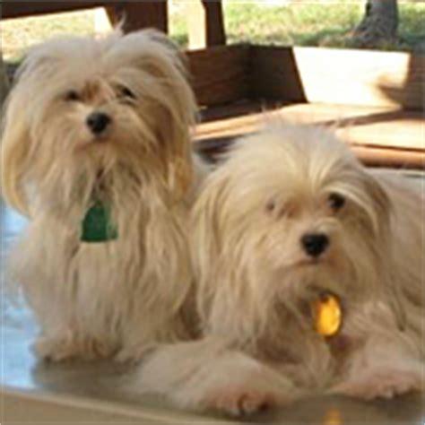havanese rescue oklahoma havanese rescue adoptions