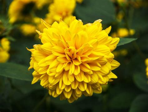 stauden sonnenblume pflege stauden sonnenblume mehrj 228 hrige sorten pflege