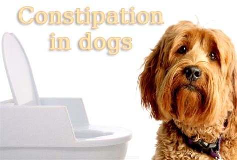 puppy constipation home remedy best remedies for constipation in dogs