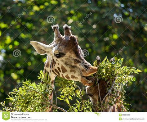 imagenes de jirafas comiendo hojas jirafas que comen las hojas foto de archivo imagen 55684549