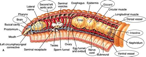 earthworm anatomy diagram image gallery oligochaeta diagram