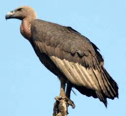 vulture animal wildlife
