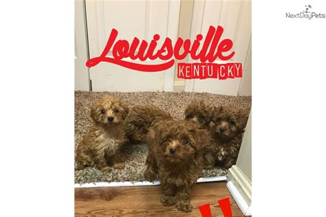 yorkie poo puppies louisville ky f yorkiepoo yorkie poo puppy for sale near louisville kentucky 3e05c368 25e1