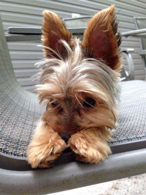 hair yorkie puppies best 25 yorkie hairstyles ideas on yorkie hair cuts yorkie haircuts and