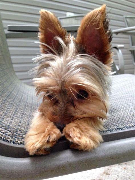silky yorkie puppies best 25 yorkie hairstyles ideas on yorkie hair cuts yorkie haircuts and