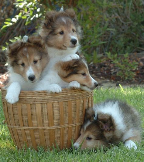 pictures of sheltie puppies summerbrook shelties el cajon ca
