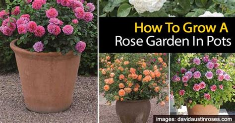 garden tips tips for growing a rose garden in pots