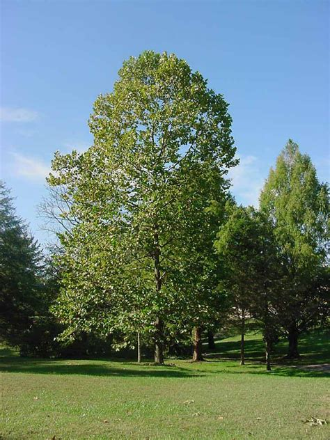 pictures of trees of the south moon tree