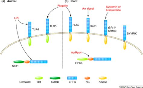 activation of plant pattern recognition receptors by bacteria plant recognition of microbial patterns trends in plant