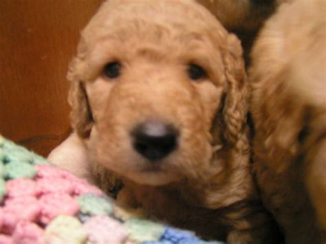 goldendoodle puppies for adoption goldendoodle puppies for sale adoption from oswego new york adpost classifieds