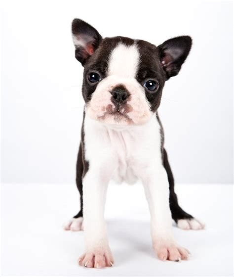 Cute Salt And Pepper Shakers by Cute Boston Terrier Puppy Photo