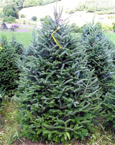 best christmas tree species selecting the tree tree types msu extension