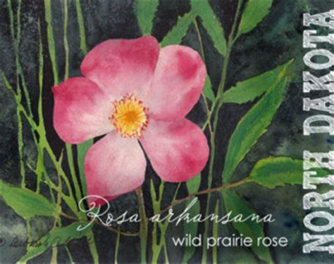 wild prairie rose rosa arkansana watercolor painting watercolor aceo state flowers north