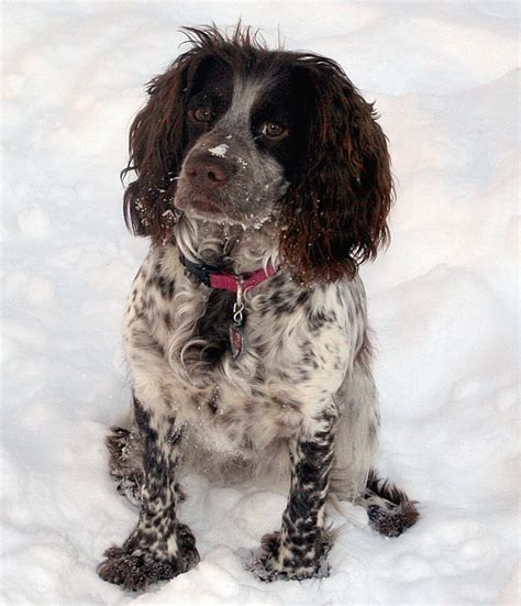 field spaniel puppies for sale cookie field bred cocker puppies for sale cookie field bred cocker