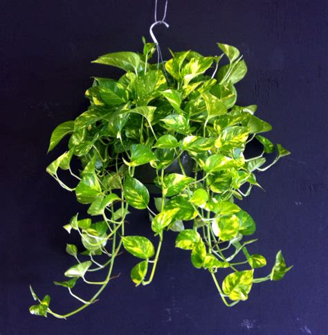 Bright Kitchen Accessories - indoor gardening the easiest plants that purify the air