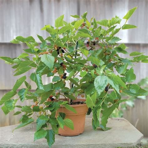 Vertical Garden Idea - growing mulberry in containers how to grow mulberry tree in a pot balcony garden web