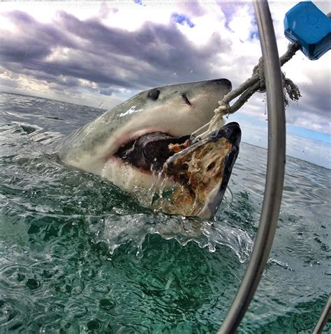 gopro shark great white shark gopro photo is the most terrifying
