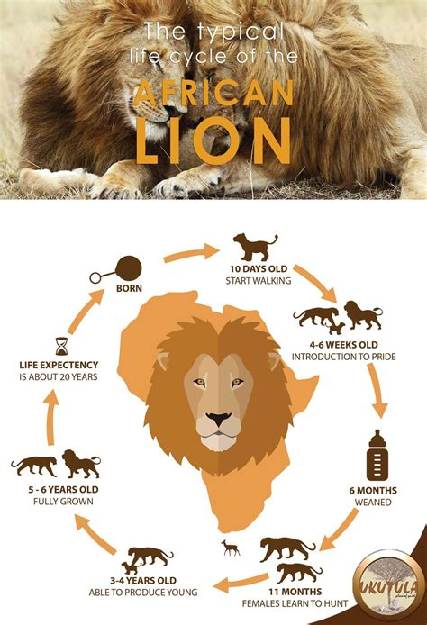 infographic  typical life cycle   african lion