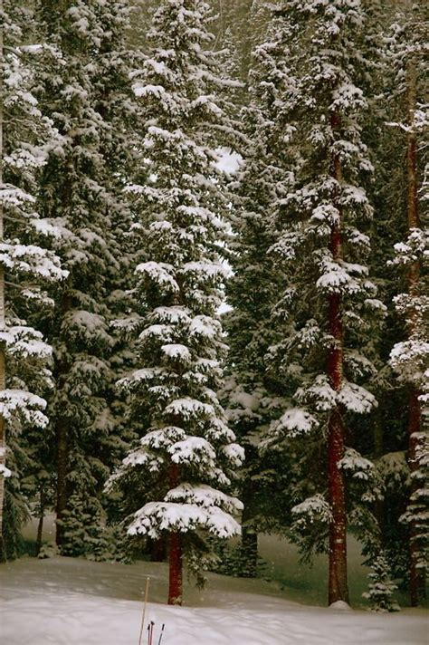 tall pine trees in snow winter wonderland pinterest