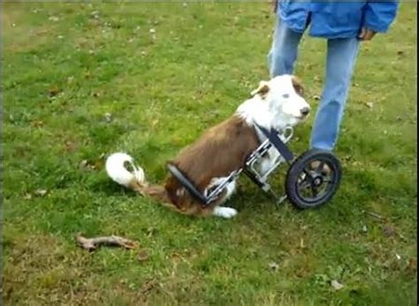 wheelchair for front legs disabled border collie given wheelchair for front legs tnt magazine