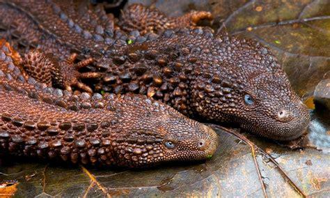mirip naga inilah fakta fakta tentang earless monitor lizard biawak  telinga