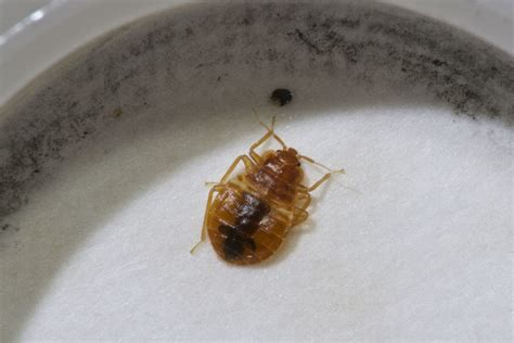 bed bug interceptor diy diy bed bug interceptor 28 images this diy bed bug