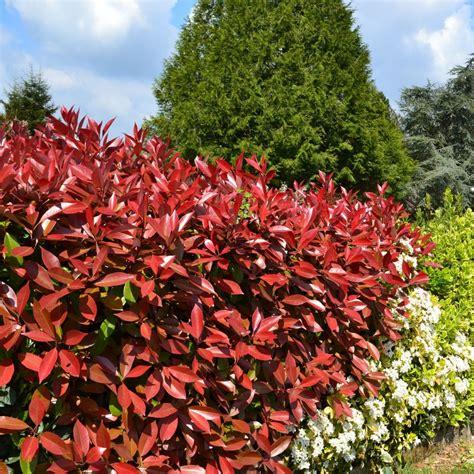 photinia robin photinia robin plantes et jardins