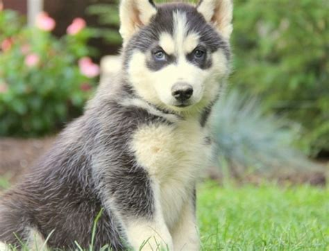 husky puppies for sale michigan jk siberian husky puppies for sale handmade michigan