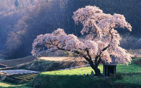 Japan Landscape Japan Landscapes Nature Cherry Blossoms Trees Grass