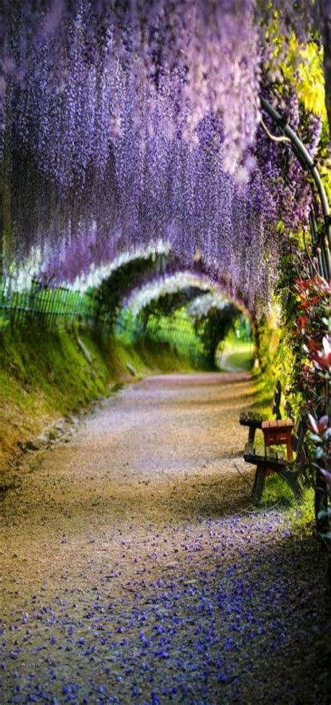 wisteria flower tunnel in japan beautiful tree tunnels you should visit once in lifetime