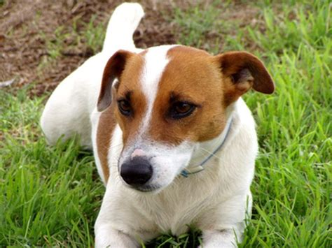 how to get rid of dog smell in a jack russell terrier