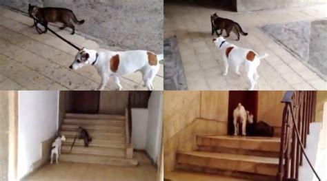Tali Medali Biasa lucu aksi kucing giring anjing jalan jalan kabar berita artikel gossip
