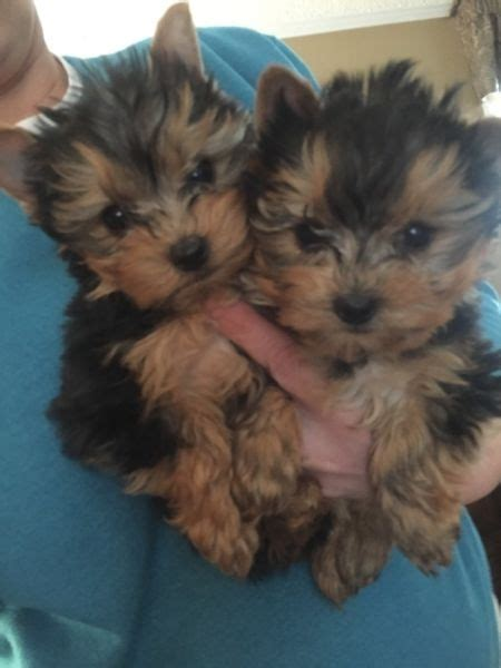 teacup yorkies for sale in las vegas 13weeks yorkie puppies for adoption las vegas for sale las vegas community pets