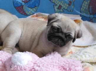 hill country pugs currentpuppiesforsale