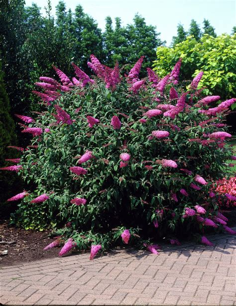 butterfly bush care how to care for a butterfly bush bush