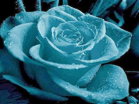 imagenes rosas negras y azules el jardin de las reflexiones rosa azules