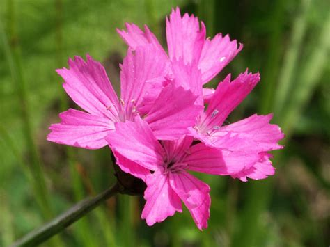 fiore garofano scelte per te giardino fiore garofano kahori