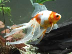 Veiltail Goldfish ? Tips and Characteristics